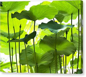 Lotus Leaves Canvas Print by Tim Gainey