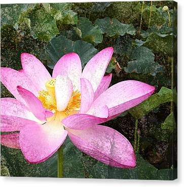 Lotus Canvas Print by Michael  Volpicelli