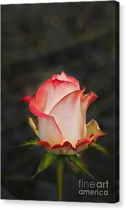 Love Is A Rose II Canvas Print by Al Bourassa