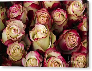 Love Is A Rose IIi Canvas Print by Al Bourassa