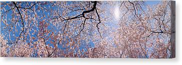 Low Angle View Of Cherry Blossom Trees Canvas Print by Panoramic Images