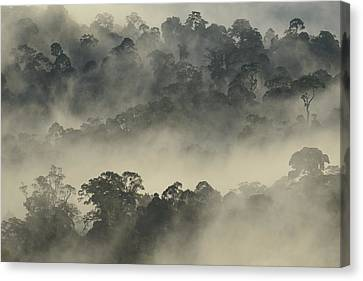 Lowland Primary Forest At Sunrise Canvas Print by Ch'ien Lee