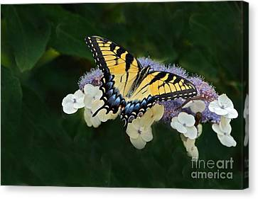 Luminous Butterfly On Lacecap Hydrangea Canvas Print by Byron Varvarigos
