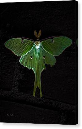 Lunar Moth Canvas Print by Bob Orsillo