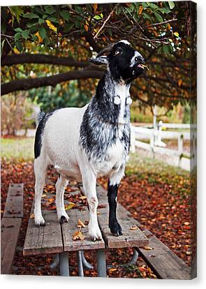 Lunch With Goat Canvas Print by Rona Black