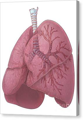 Lungs And Bronchi Canvas Print by Evan Oto