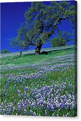 Lupine And The Leaning Tree Canvas Print by Kathy Yates