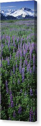 Lupine Flowers In Bloom, Turnagain Arm Canvas Print by Panoramic Images