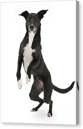 Lurcher Standing On Hind Legs Canvas Print by Mark Taylor