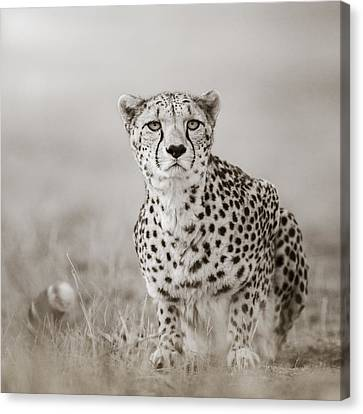 Lurking Cheetah Canvas Print by Regina Mueller