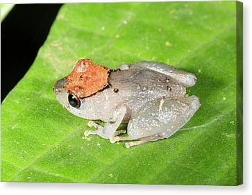 Luscombe's Rain Frog Canvas Print by Dr Morley Read
