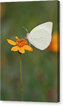Lyside Sulphur (kricogonia Lyside Canvas Print by Larry Ditto