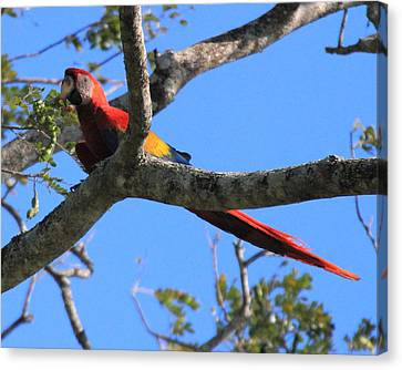Macaw Canvas Print by Coby Cooper