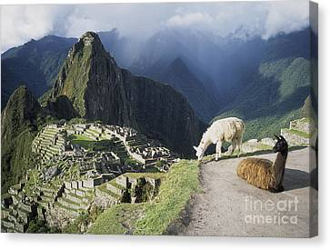 Machu Picchu And Llamas Canvas Print by James Brunker