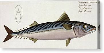 Mackerel Canvas Print by Andreas Ludwig Kruger