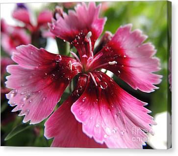 Macro Dianthus Canvas Print by Kristine Merc
