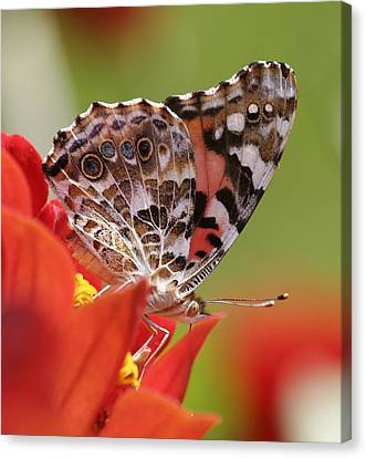 Macro Monarch Canvas Print by John Holloway