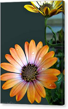 Macro Orange And Yellow Daisies With Water Droplets Canvas Print by Danielle  Parent