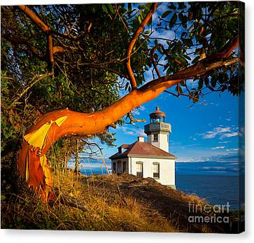 Madrone And Lighthouse Canvas Print by Inge Johnsson