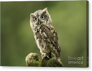 Magnifique  Eastern Screech Owl Canvas Print by Inspired Nature Photography Fine Art Photography