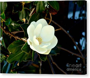 Magnolia Grandiflora Canvas Print by Hanza Turgul