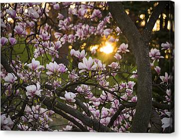 Magnolia Sunrise Canvas Print by Tracy Munson