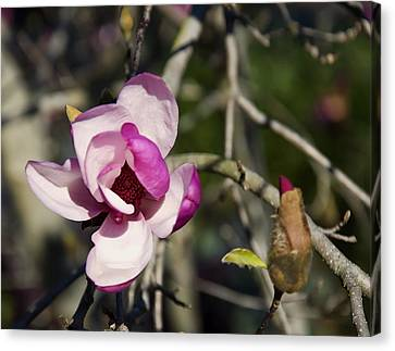 Magnolia Tree Flower And Bud Canvas Print by Chris Flees