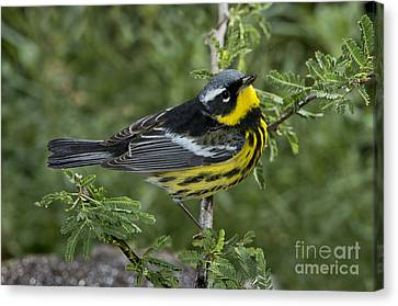 Magnolia Warbler Canvas Print by Anthony Mercieca