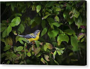 Magnolia Warbler Canvas Print by Christina Rollo