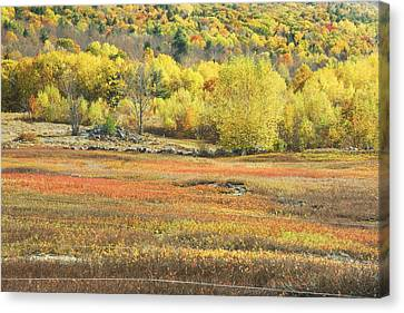 Maine Blueberry Field -fall Folige - Forest Canvas Print by Keith Webber Jr