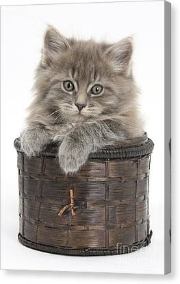 Maine Coon Kitten, Basket Canvas Print by Mark Taylor