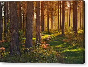 Maine Pine Forest Bathed In Light Canvas Print by Movie Poster Prints