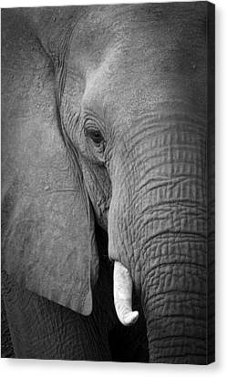 Majestic Giant Canvas Print by Alison Buttigieg