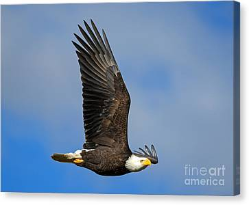 Majestic Glide Canvas Print by Mike Dawson