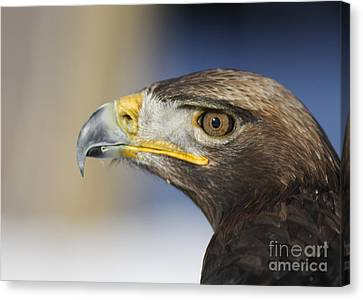 Majestic Golden Eagle Canvas Print by Inspired Nature Photography Fine Art Photography