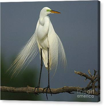Majestic Great Egret Canvas Print by Bob Christopher
