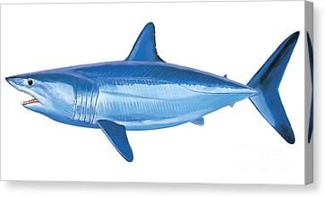 Mako Shark Canvas Print by Carey Chen