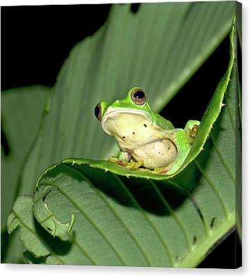 Malabar Gliding Frog Canvas Print by K Jayaram