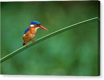Malachite Kingfisher Tanzania Africa Canvas Print by Panoramic Images