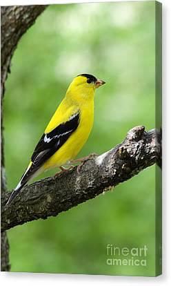 Male American Goldfinch Canvas Print by Thomas R Fletcher