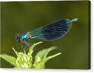Male Banded Demoiselle Damselfly Canvas Print by Bob Gibbons
