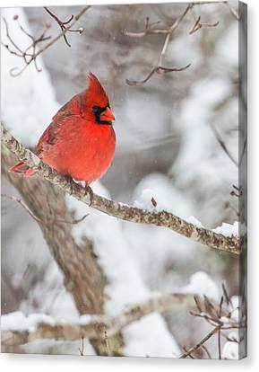 Male Cardinal On Snowy Branch Canvas Print by Rob Travis