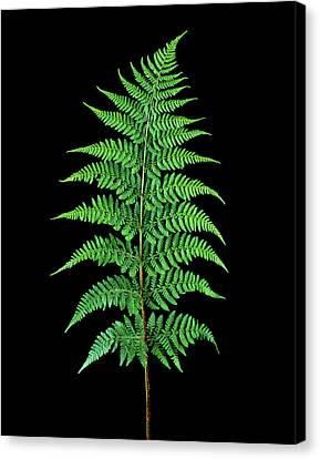 Male Fern (dryopteris Filix-mas) Canvas Print by Gilles Mermet