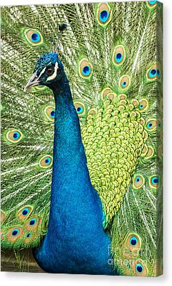 Male Indian Peacock Canvas Print by Darleen Stry
