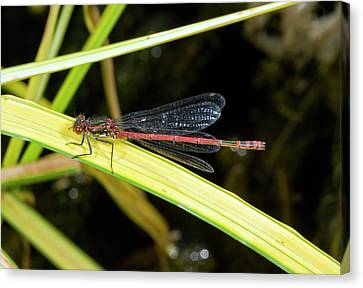 Male Large Red Damselfly Canvas Print by Bob Gibbons