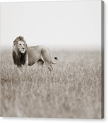 Male Lion II Masai Mara Kenya Canvas Print by Regina Mueller