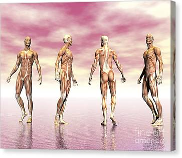 Male Muscular System From Four Points Canvas Print by Elena Duvernay
