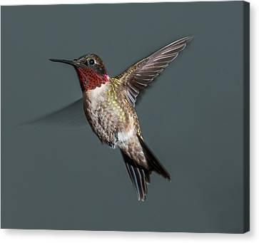 Male Ruby-throated Hummingbird 1 Canvas Print by Lara Ellis