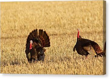 Male Tom Turkeys In Breeding Plumage Canvas Print by Chuck Haney