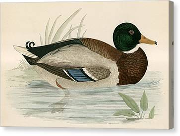 Mallard Canvas Print by Beverley R Morris